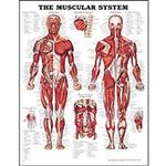 Anatomical Charts And Models - Anatomical Models - Human Anatomy Charts