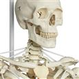 "The Functional Skeleton On Hanging Stand, ""Frank"""