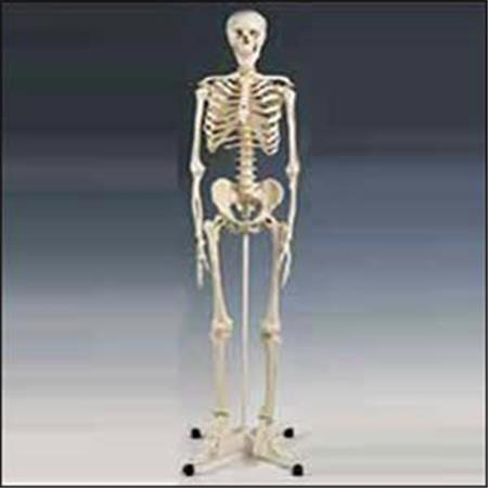 Buy Model Full Skeleton W Stand