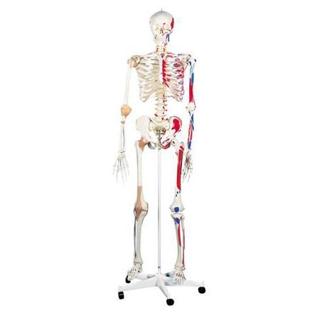"Super Human Skeleton Model ""Sam"" with Pelvic Roller Stand"