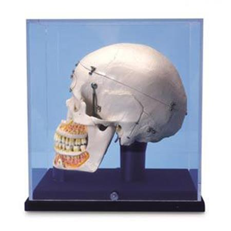 10 Part Deluxe Demonstration Skull W/Case