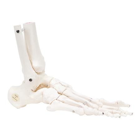 Right Flexible Foot & Ankle Skeleton