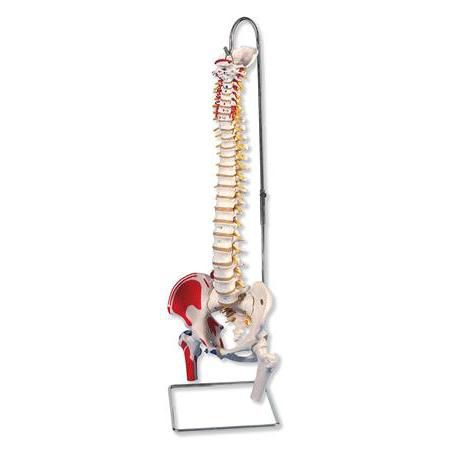 Flexible Spinal Column With Stand