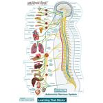BodyPartChart Autonomic Nervous System - Wall Decal