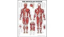 Anatomical Charts & Models