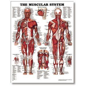 The Male Muscular System 20