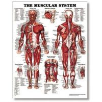 """The Male Muscular System 20"""" X 26"""" Styrene"""