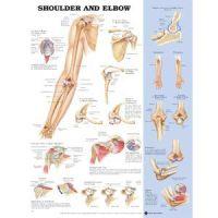 "Shoulder/Elbow Poster 20"" X 26"" Styrene"