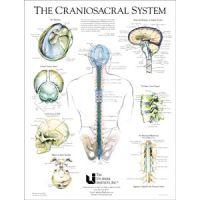 "Craniosacral System Poster 19"" X 25"""
