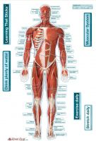 BodyPartChart Muscular System - Front Labeled Wall Decal