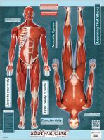 Bodypart Chart Muscles Front and Rear View- Wall Decal