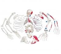 Disarticulated Skeleton Fully Painted
