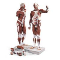 Life Size Male Muscular Figure 37 Part