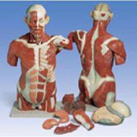 Muscle Torso 27 Part